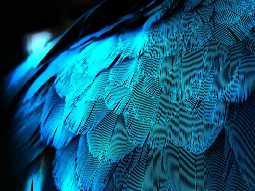 This beautiful HD wallpaper features these blue feathers.