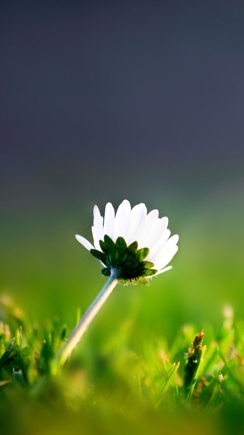 Lone Flower Wallpaper