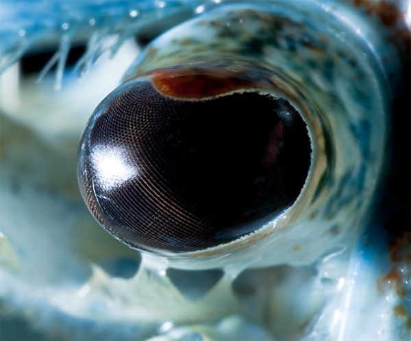 Blue crayfish eye photo