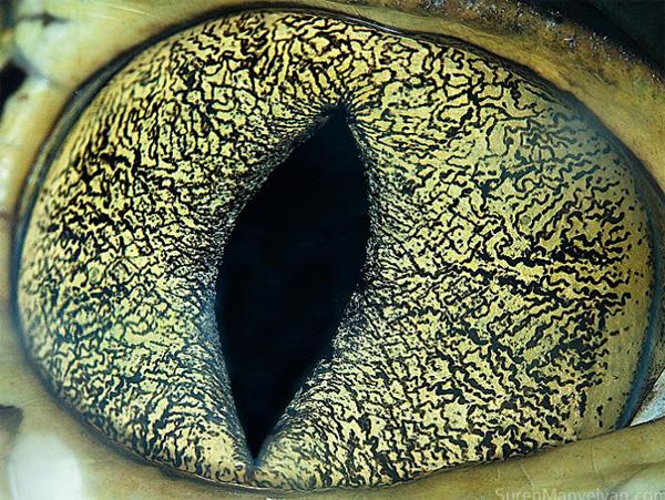 Caiman eye photo