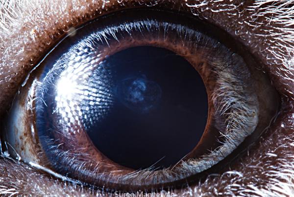 Guinea pig eye photo