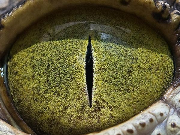 Nylus crocodile eye photo