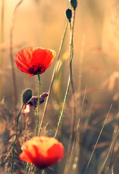 Poppies iOS 7 Wallpaper