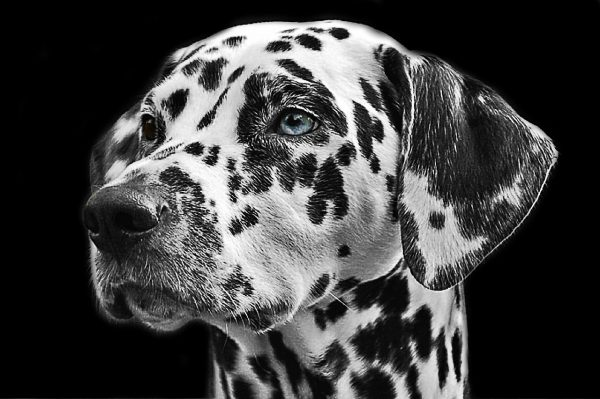 dalmatian with blue eyes