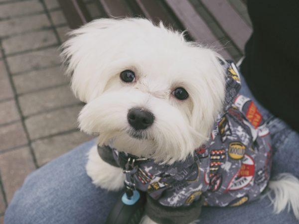 urban white puppy