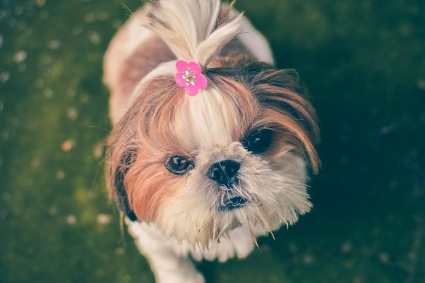 cute dog with hairclip