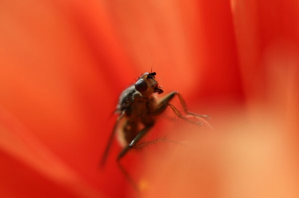 fly on the red flower