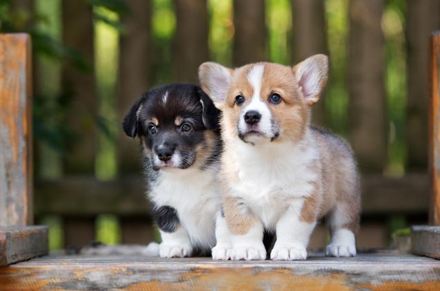 cute-puppy-breeds-corgi